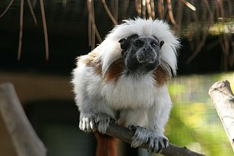Alameda Wildlife Conservation Park - One of six featured cotton-topped tamarins