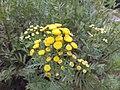 Tanacetum vulgare Viote 01.jpg