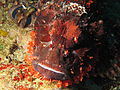 Tassled scorpionfish at Nusa Kode.JPG