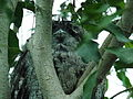 Tawny Frogmouth 02.jpg