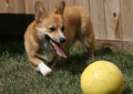 Taylor the Pembroke Welsh Corgi.png