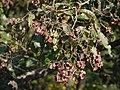 Terminalia paniculata Roth (16147933122).jpg