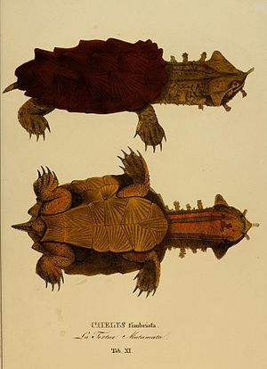 Johann Baptist von Spix - Illustration of a mata mata collected by Spix in Brazil