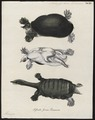 Testudo ferox - 1700-1880 - Print - Iconographia Zoologica - Special Collections University of Amsterdam - UBA01 IZ11600177.tif