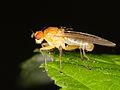 Tetanocera (Sciomyzidae) - a Marsh fly from Slovakia (7333032834).jpg