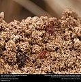 Texas Leafcutter Ants (Formicidae, Atta texana) (29241223756).jpg