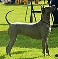 Thai Ridgeback Dog.jpg