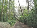 """The """"Leaning Tree"""" in the Terrace Woodland - geograph.org.uk - 789097.jpg"""