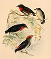 The birds of Celebes and the neighbouring islands - XXV.jpg