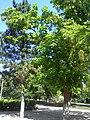 The catalpa and the pine-tree. July 2013. - Катальпа и сосна. Июль 2013. - panoramio.jpg