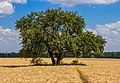 The tree elm (ulmus) is among the wheat (Triticum L.) (36010752296).jpg