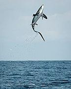 Thresher shark jumping.jpg