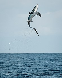 Thresher Shark jumping in Costa Rica