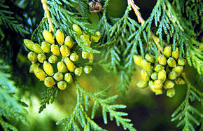 Thuja occidentalis fulles i pinyes