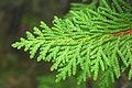 Thuja occidentalis foliage Wisconsin.jpg
