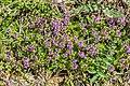 Thymus serpyllum in Chablais (3).jpg