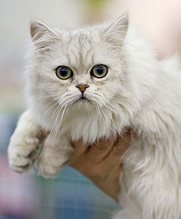 Asian Semi-longhair Infobox template for articles on cat breeds
