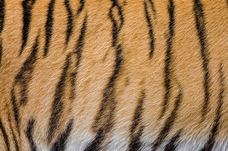 File:Tiger Stripes (29808869755).jpg