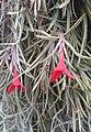 Tillandsia albertiana DSC 0054.jpg