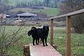 Tiverton, farm dogs near Rashleighayes - geograph.org.uk - 115579.jpg
