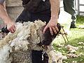 Tonte des moutons.JPG