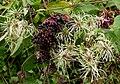Traveller's joy and elderberries - geograph.org.uk - 1463803.jpg