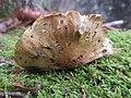 Tricholoma joachimii (Haute-Loire, France) 02.jpg