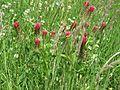 Trifolium incarnatum 01.jpg