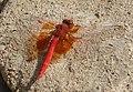 Trithemis kibyi. Orange-winged Dropwing (32694010491).jpg