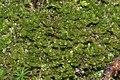 Tritomaria exsecta (a, 113252-471408) 6926.JPG