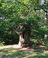 Trogne de châtaignier, forêt domaniale de Bois-d'Arcy, Yvelines 2.jpg