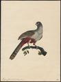 Trogon curucui - 1700-1880 - Print - Iconographia Zoologica - Special Collections University of Amsterdam - UBA01 IZ16700341.tif