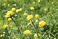Trollblumen naturschutzgebiet wengermoor E Ortner.jpg