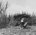 Tropenmuseum Royal Tropical Institute Objectnumber 20007177 Het laden van de geoogste suikerriet.jpg