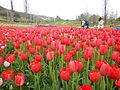 Tulip (13).JPG