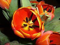 Langage des fleurs : la tulipe. dans LE LANGAGE DES FLEURS.