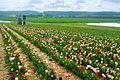 Tulpen zum selber Pflücken und Blick auf den Schönbuchrand - panoramio.jpg