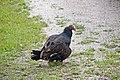 Turkey Vulture (3680634599).jpg