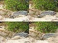 Turtle digging (4 panels).jpg