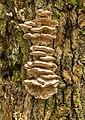 Tweekleurig elfenbankje. (Gloeoporus dichrous) op de stam van een knotwilg 08-01-2020 (d.j.b) 03.jpg