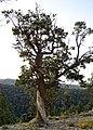 Twisted Tree - panoramio (1).jpg