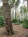 Twisted tree trunk - geograph.org.uk - 777464.jpg
