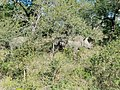 Two Southern White Rhinos at Hluhluwe–Imfolozi Park, KwaZulu-Natal, South Africa (16 July 2018).jpg