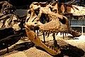 Tyrannosaurus skulls.jpg