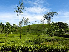 UG-LK Photowalk - 2018-03-25 - Tea plantation in CP (1).jpg