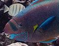 Uhu uliuli, or spectacled parrotfish (6741932553).jpg