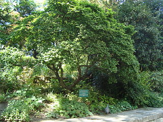 <i>Ulmus</i> Jacqueline Hillier Elm cultivar