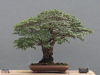 English: A Chinese Elm (Ulmus parvifolia) bons...