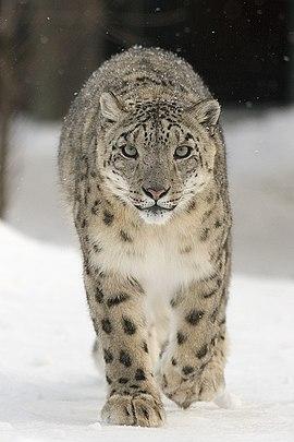 Fotografie irbise kráčejícího sněhem směrem k fotografovi