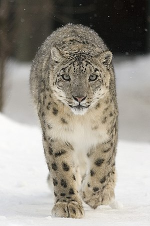 Ubsunur Hollow - Snow leopard